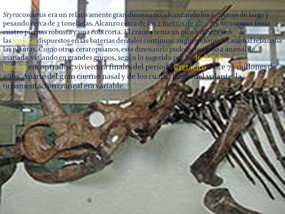 Styracosaurus era un relativamente gran dinosaurio, alcanzando los 6 metros de largo y pesando cerca de 3 toneladas.