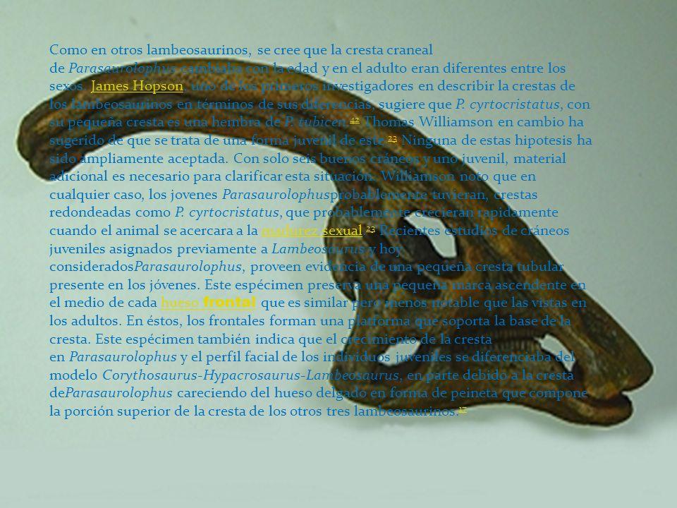 Como en otros lambeosaurinos, se cree que la cresta craneal de Parasaurolophus cambiaba con la edad y en el adulto eran diferentes entre los sexos. James Hopson, uno de los primeros investigadores en describir la crestas de los lambeosaurinos en términos de sus diferencias, sugiere que P.