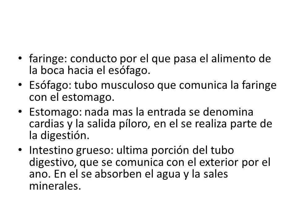 faringe: conducto por el que pasa el alimento de la boca hacia el esófago.