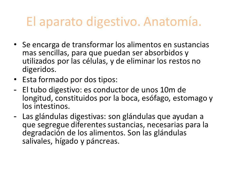 El aparato digestivo. Anatomía.