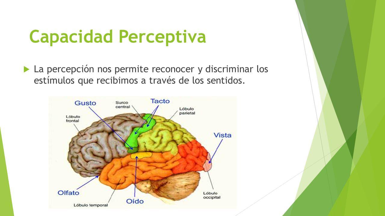 Capacidad Perceptiva La percepción nos permite reconocer y discriminar los estímulos que recibimos a través de los sentidos.