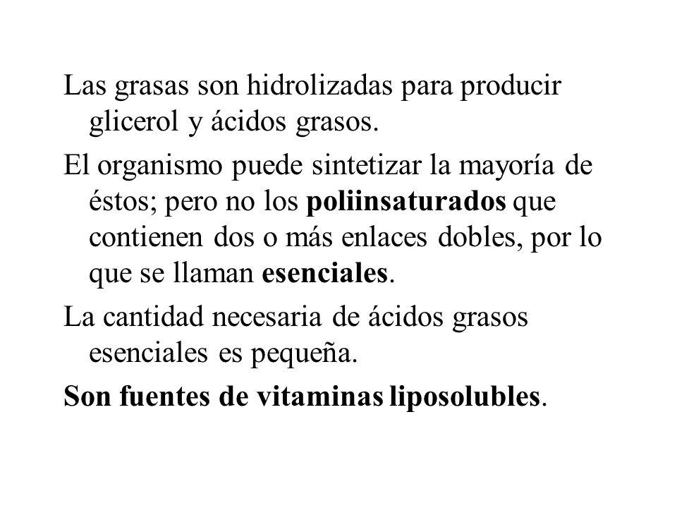 Las grasas son hidrolizadas para producir glicerol y ácidos grasos.