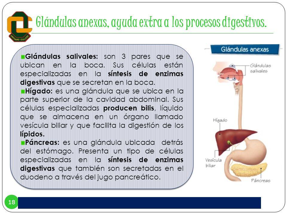 Glándulas anexas, ayuda extra a los procesos digestivos.