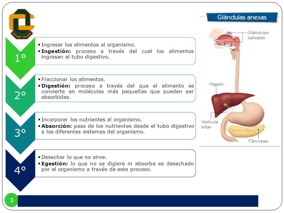 1°Ingresar los alimentos al organismo. Ingestión: proceso a través del cual los alimentos ingresan al tubo digestivo.