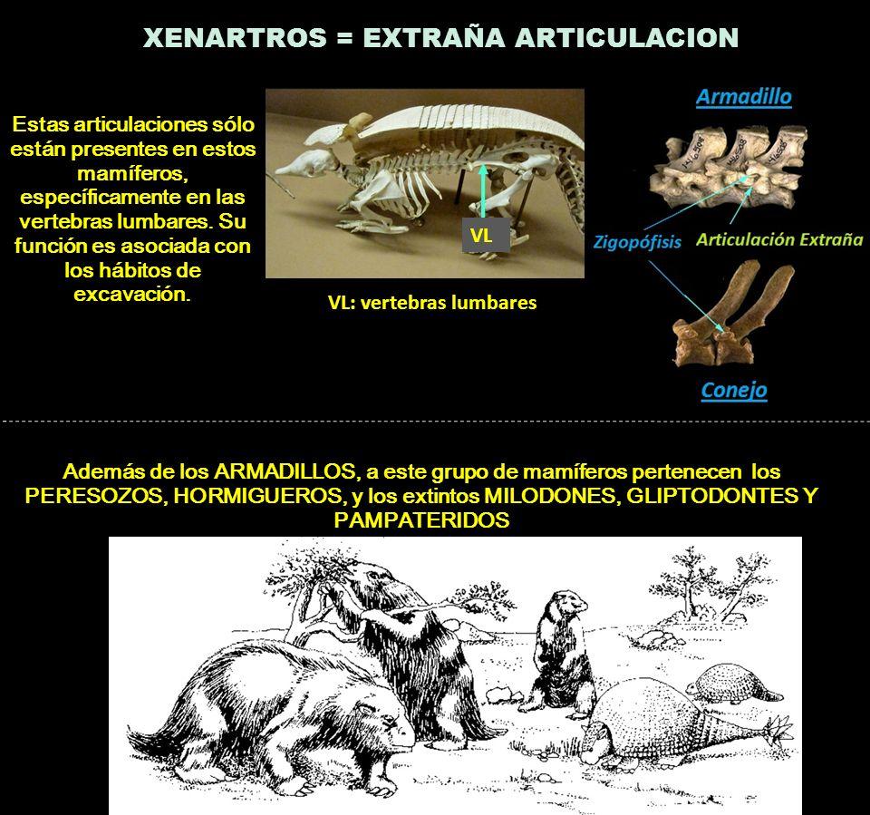 XENARTROS = EXTRAÑA ARTICULACION