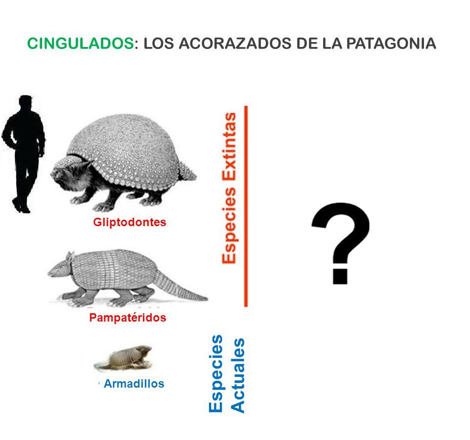 Especies Actuales CINGULADOS: LOS ACORAZADOS DE LA PATAGONIA