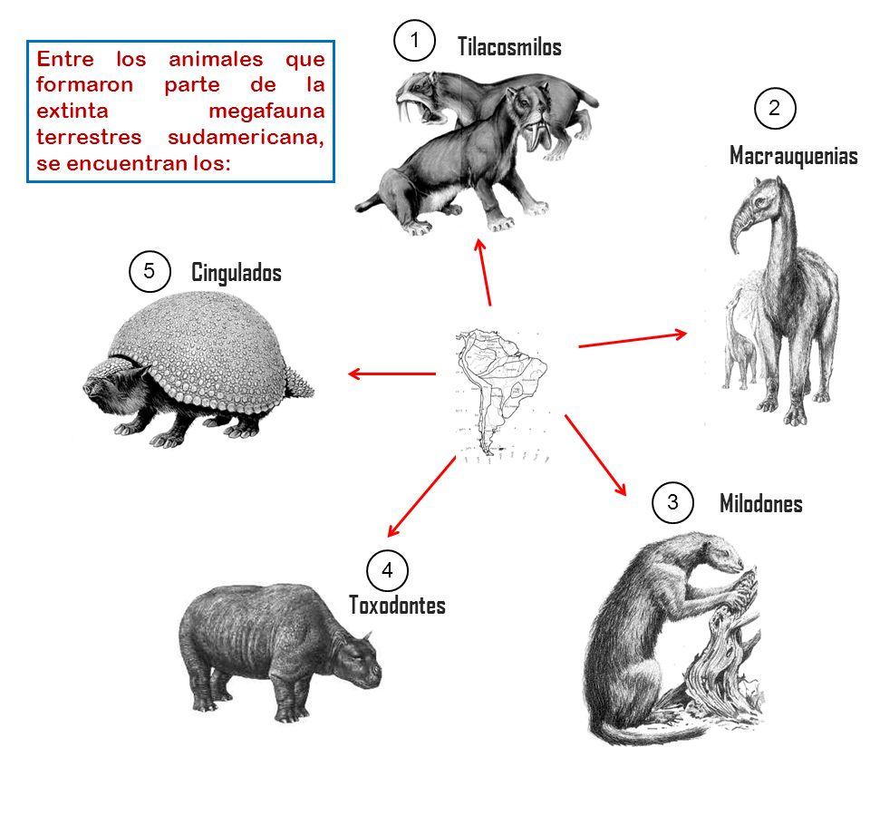 Tilacosmilos Cingulados Milodones