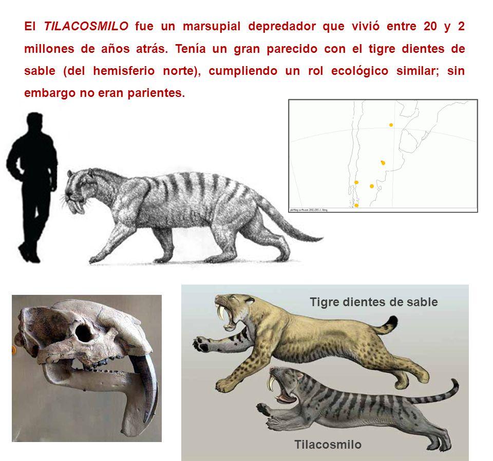 El TILACOSMILO fue un marsupial depredador que vivió entre 20 y 2 millones de años atrás. Tenía un gran parecido con el tigre dientes de sable (del hemisferio norte), cumpliendo un rol ecológico similar; sin embargo no eran parientes.
