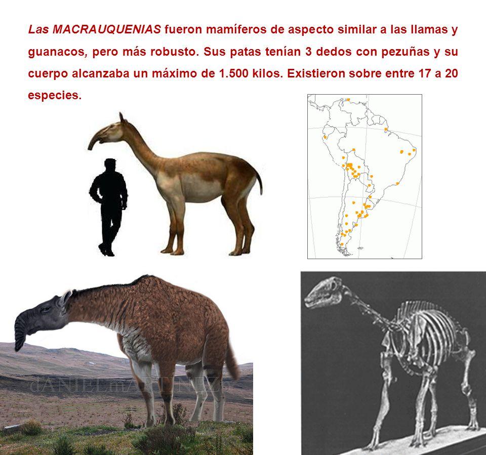 Las MACRAUQUENIAS fueron mamíferos de aspecto similar a las llamas y guanacos, pero más robusto.