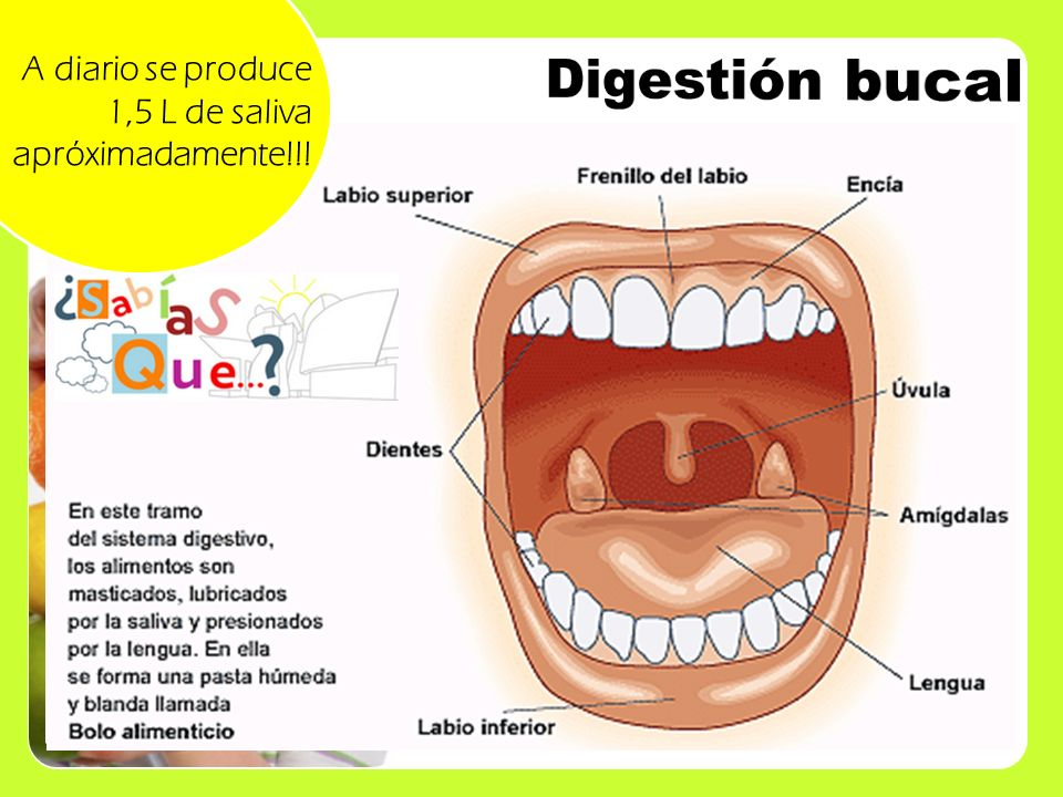 Digestión bucal A diario se produce 1,5 L de saliva apróximadamente!!!