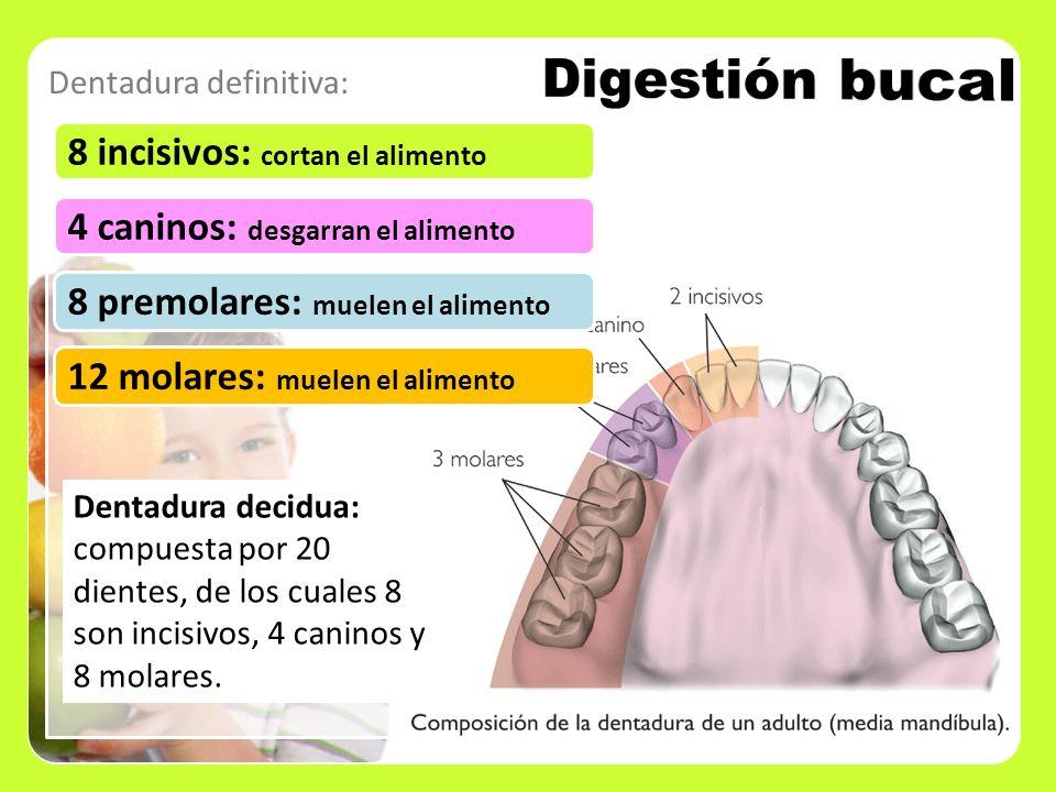 Digestión bucal 8 incisivos: cortan el alimento