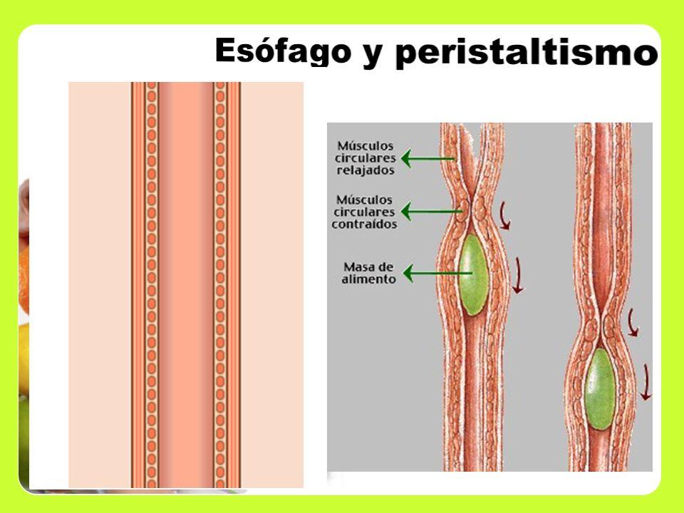 Esófago y peristaltismo