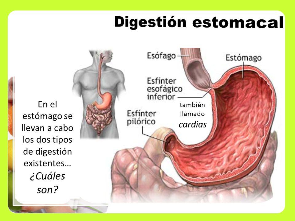 Digestión estomacal ¿Cuáles son