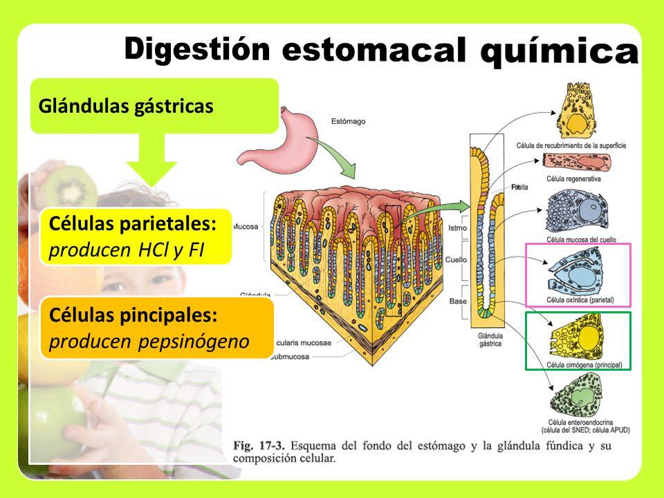 Digestión estomacal química