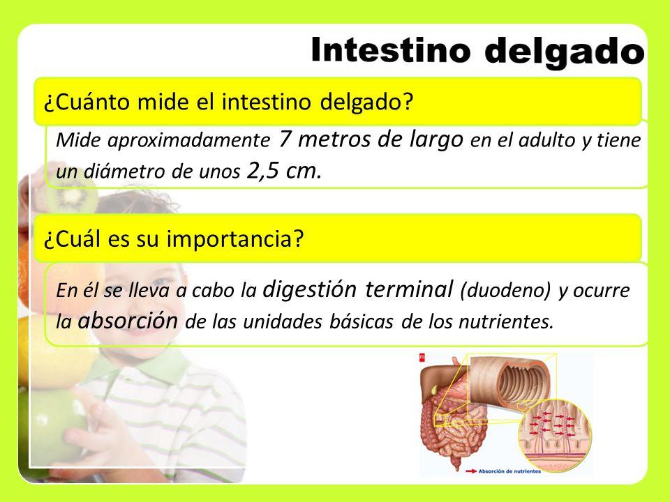 Intestino delgado ¿Cuánto mide el intestino delgado