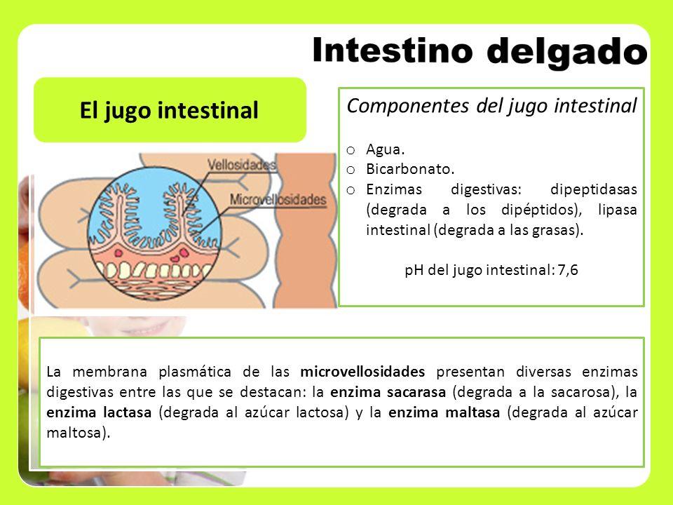 Intestino delgado El jugo intestinal Componentes del jugo intestinal