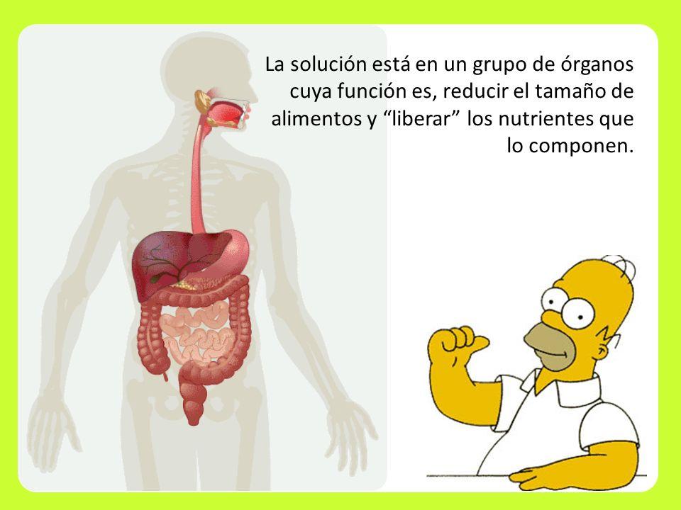 La solución está en un grupo de órganos cuya función es, reducir el tamaño de alimentos y liberar los nutrientes que lo componen.