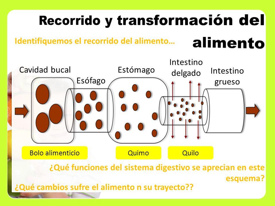 Recorrido y transformación del alimento