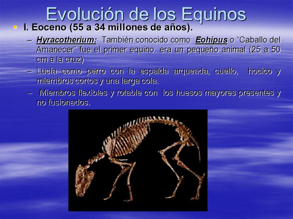 Evolución de los Equinos