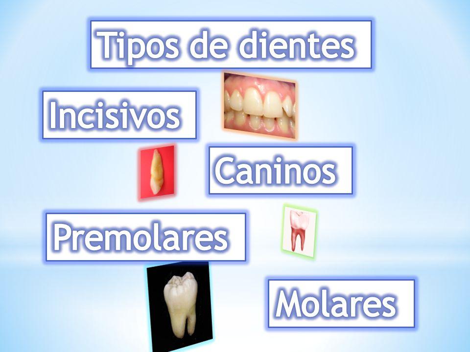 Tipos de dientes Incisivos Caninos Premolares Molares