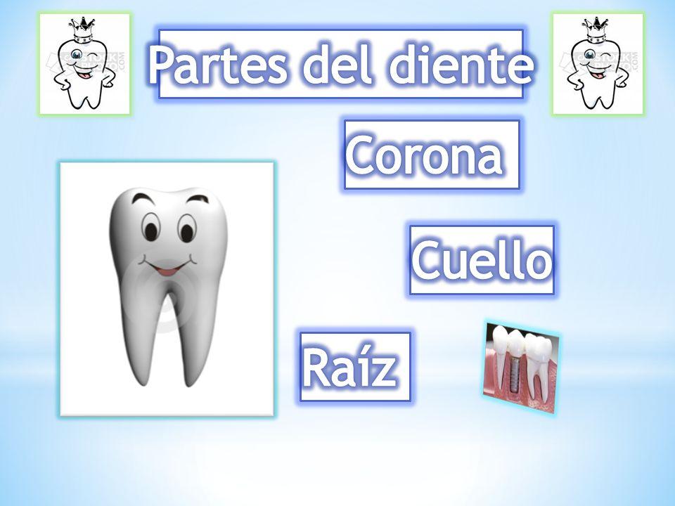 Partes del diente Corona Cuello Raíz