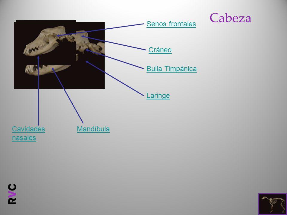 Cabeza Senos frontales Cráneo Bulla Timpánica Laringe
