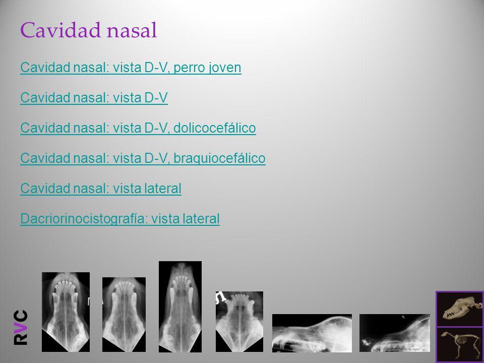Cavidad nasal Cavidad nasal: vista D-V, perro joven