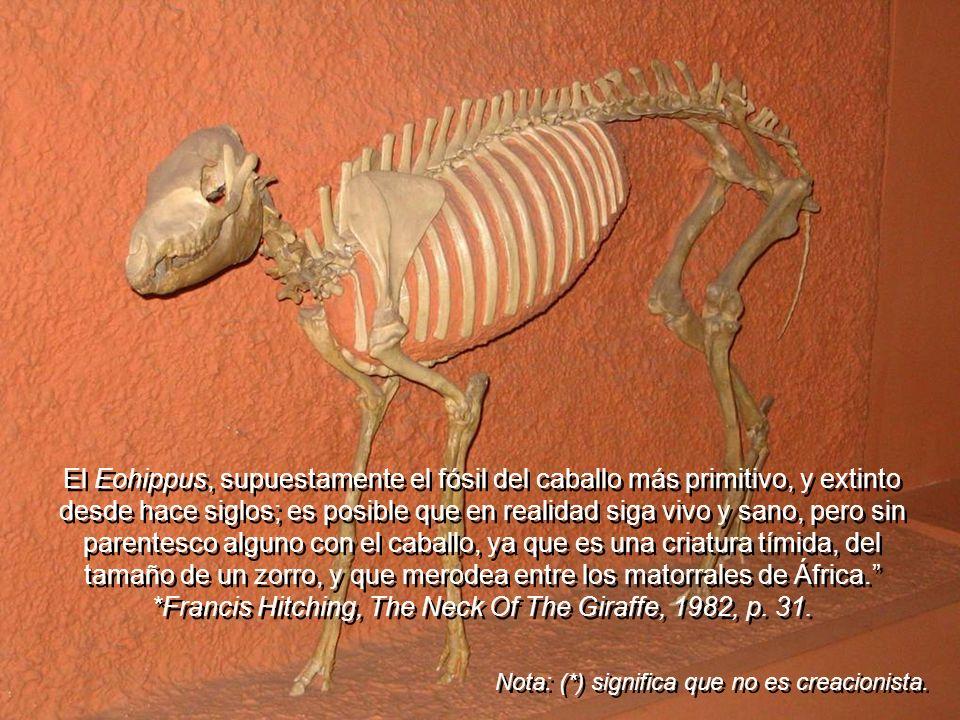 El Eohippus, supuestamente el fósil del caballo más primitivo, y extinto desde hace siglos; es posible que en realidad siga vivo y sano, pero sin parentesco alguno con el caballo, ya que es una criatura tímida, del tamaño de un zorro, y que merodea entre los matorrales de África. *Francis Hitching, The Neck Of The Giraffe, 1982, p. 31.