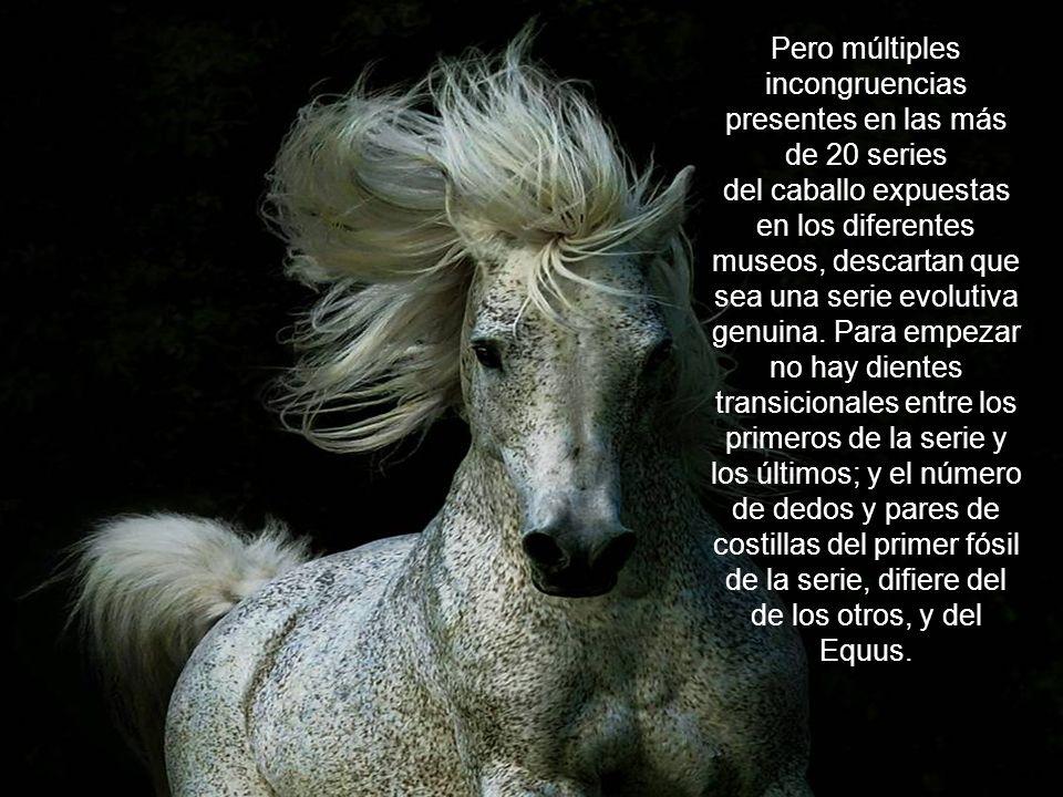 Pero múltiples incongruencias presentes en las más de 20 series del caballo expuestas en los diferentes museos, descartan que sea una serie evolutiva genuina.