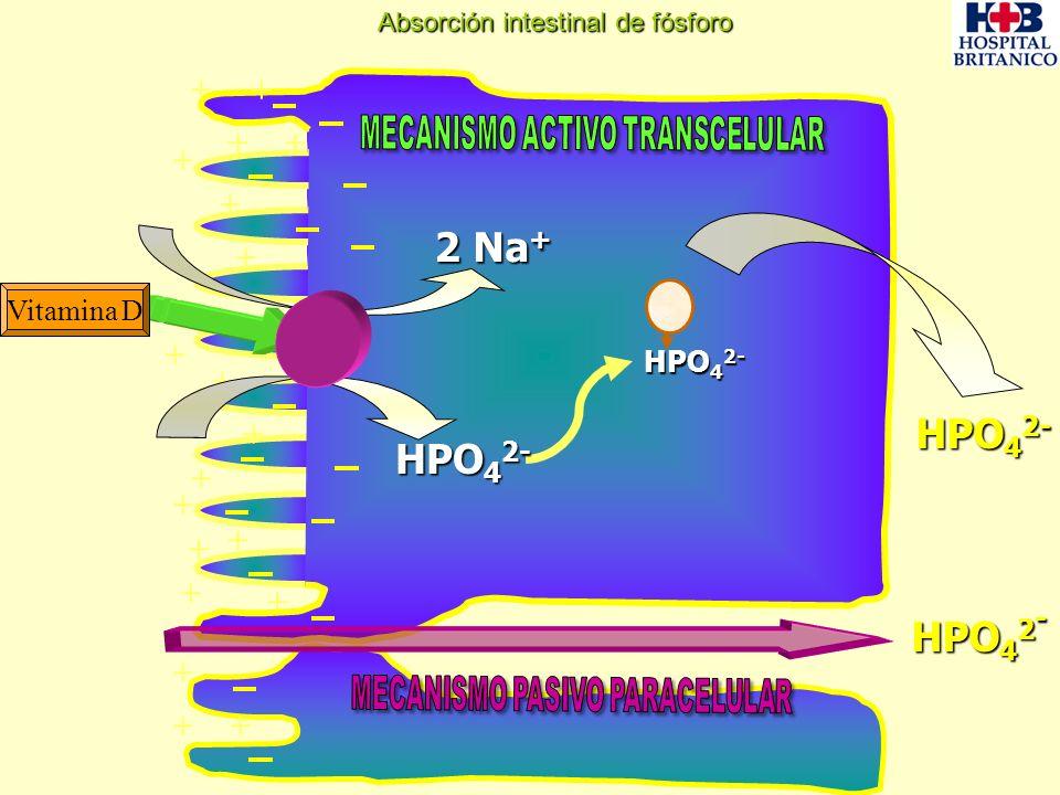 2 Na+ HPO42- + Vitamina D HPO42- Absorción intestinal de fósforo