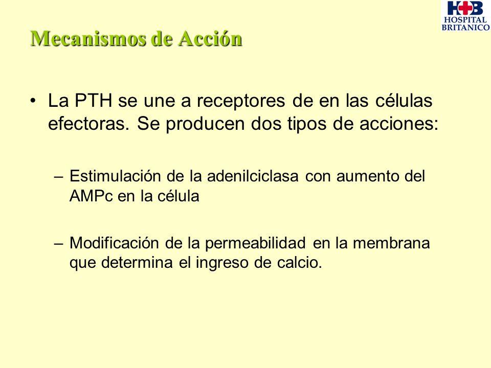 Mecanismos de Acción La PTH se une a receptores de en las células efectoras. Se producen dos tipos de acciones: