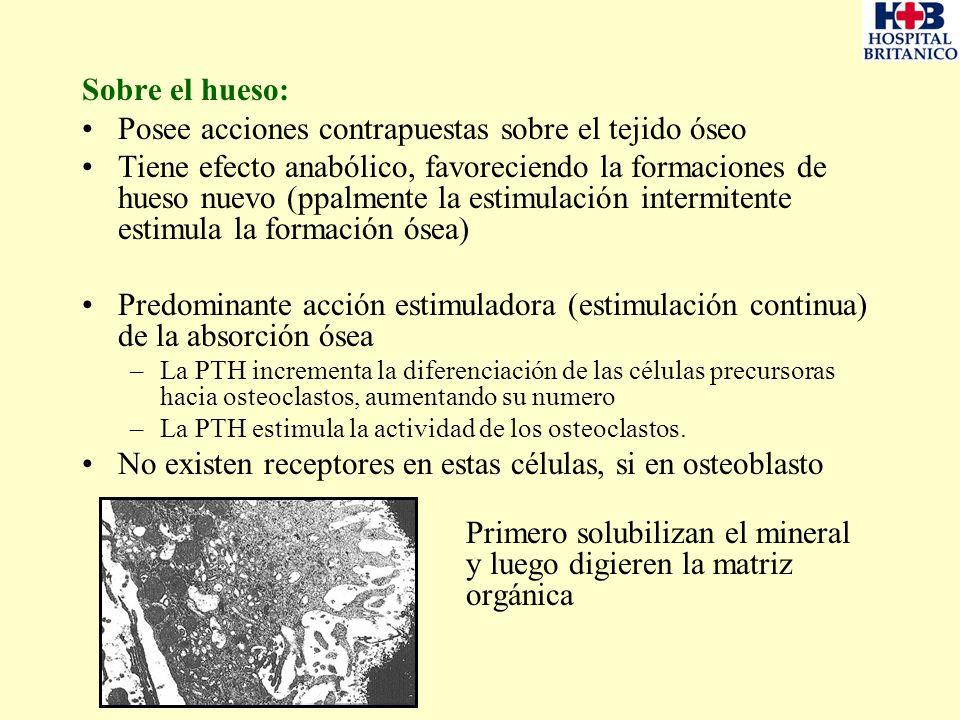 Posee acciones contrapuestas sobre el tejido óseo