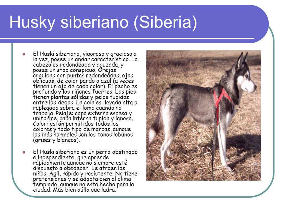 Husky siberiano (Siberia)