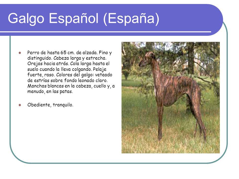 Galgo Español (España)