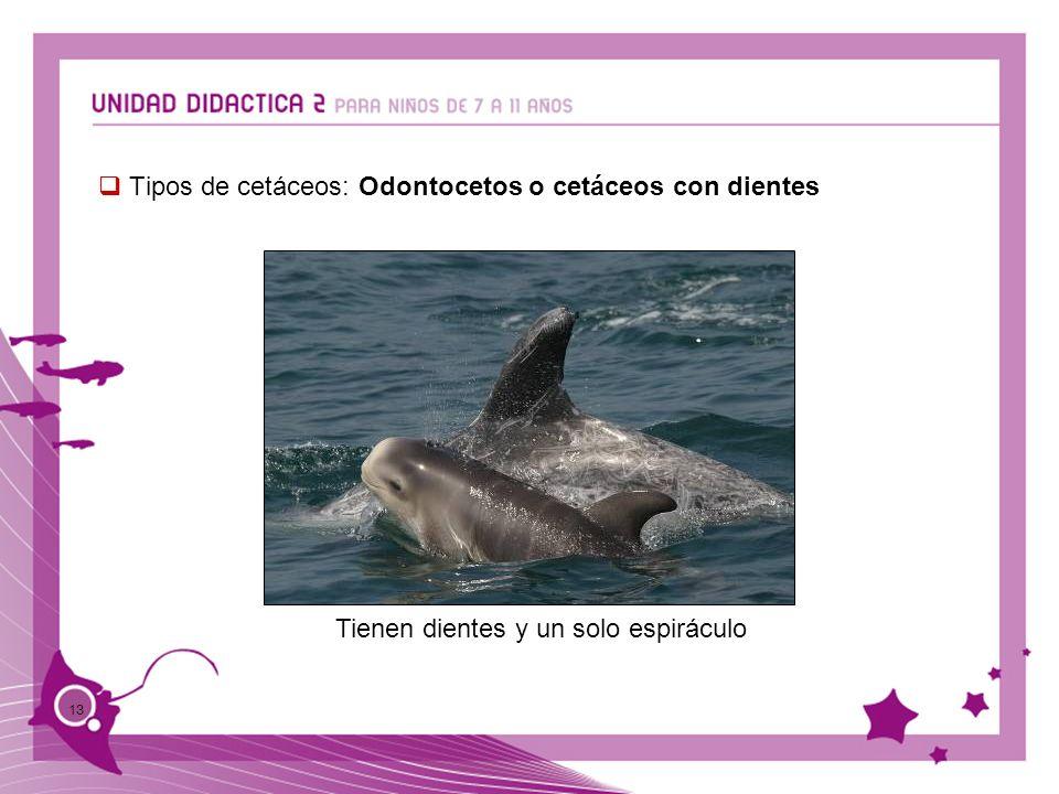 Tipos de cetáceos: Odontocetos o cetáceos con dientes