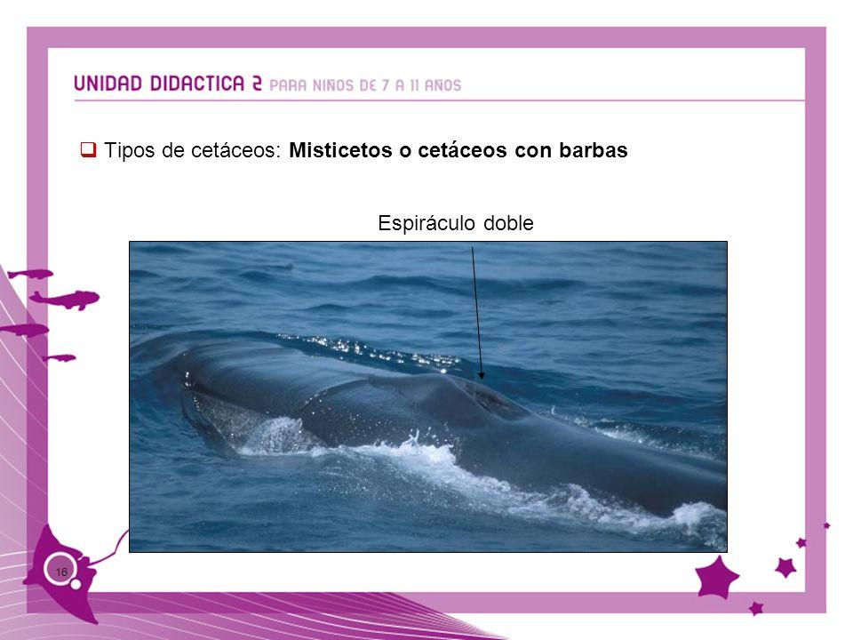 Tipos de cetáceos: Misticetos o cetáceos con barbas