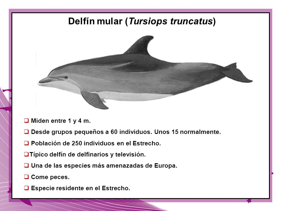 Delfín mular (Tursiops truncatus)