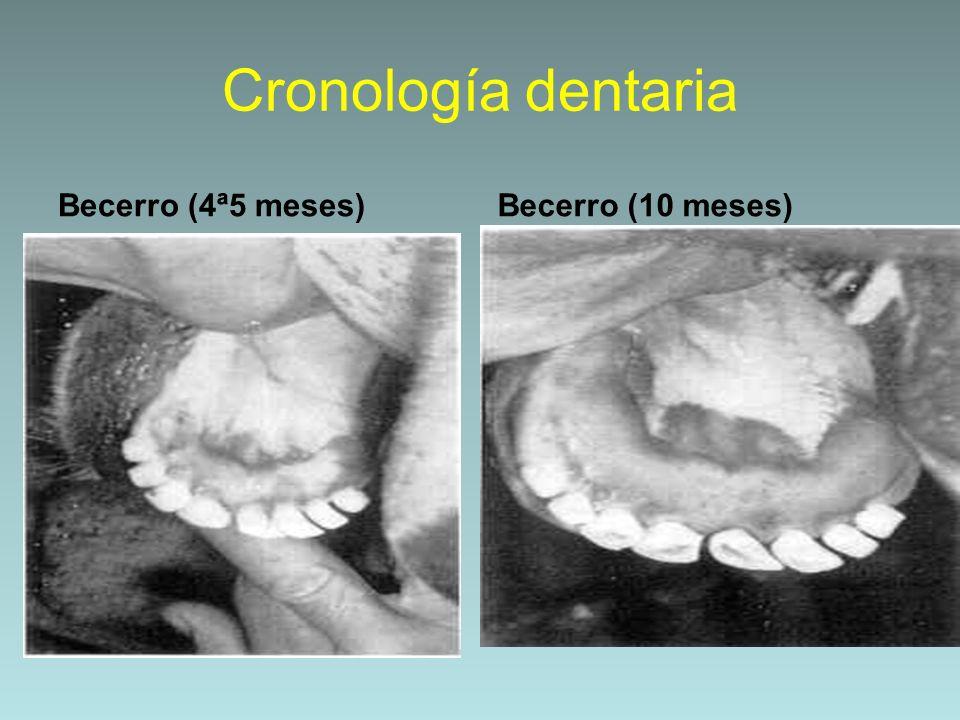 Cronología dentaria Becerro (4ª5 meses) Becerro (10 meses)