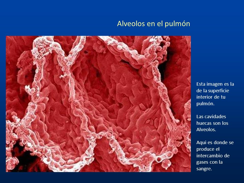 Alveolos en el pulmón Esta imagen es la de la superficie interior de tu pulmón. Las cavidades huecas son los Alveolos.