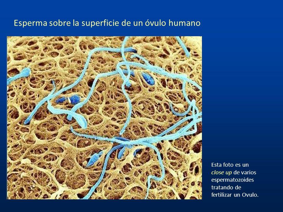 Esperma sobre la superficie de un óvulo humano