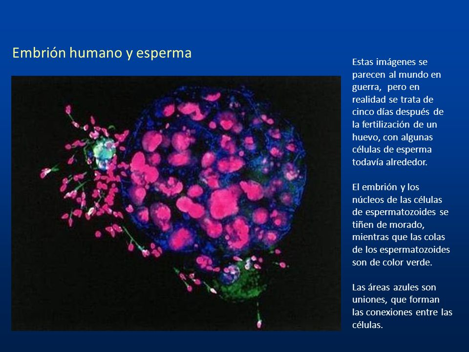 Embrión humano y esperma