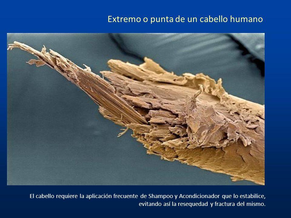 Extremo o punta de un cabello humano