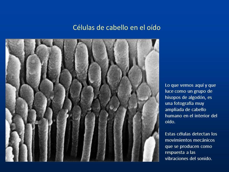 Células de cabello en el oído