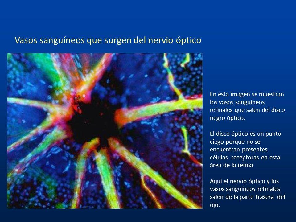 Vasos sanguíneos que surgen del nervio óptico