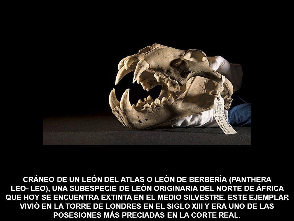 CRÁNEO DE UN LEÓN DEL ATLAS O LEÓN DE BERBERÍA (PANTHERA