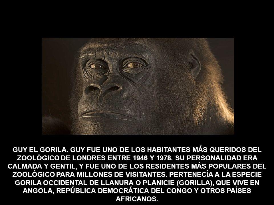 GUY EL GORILA.
