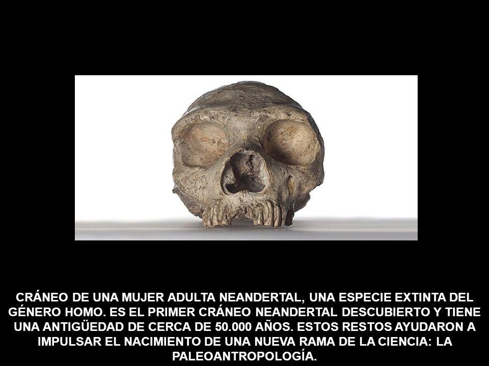 CRÁNEO DE UNA MUJER ADULTA NEANDERTAL, UNA ESPECIE EXTINTA DEL GÉNERO HOMO.