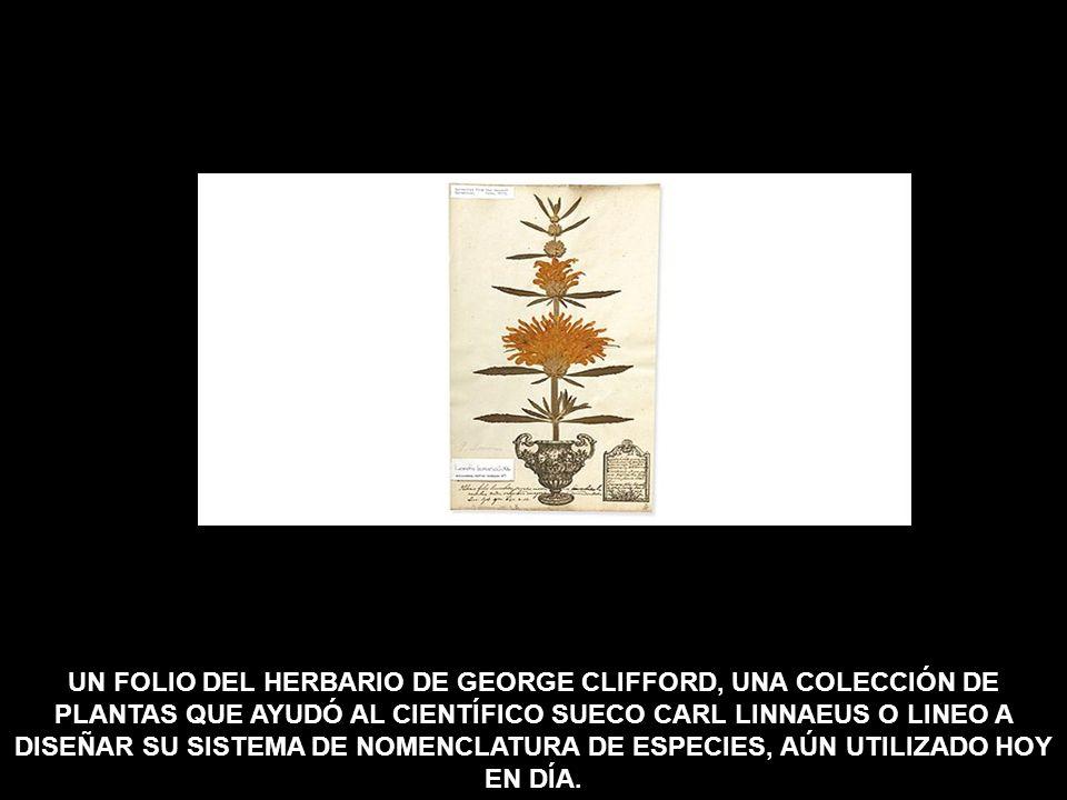 UN FOLIO DEL HERBARIO DE GEORGE CLIFFORD, UNA COLECCIÓN DE PLANTAS QUE AYUDÓ AL CIENTÍFICO SUECO CARL LINNAEUS O LINEO A DISEÑAR SU SISTEMA DE NOMENCLATURA DE ESPECIES, AÚN UTILIZADO HOY EN DÍA.