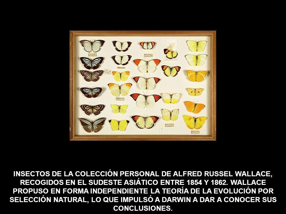 INSECTOS DE LA COLECCIÓN PERSONAL DE ALFRED RUSSEL WALLACE, RECOGIDOS EN EL SUDESTE ASIÁTICO ENTRE 1854 Y 1862.