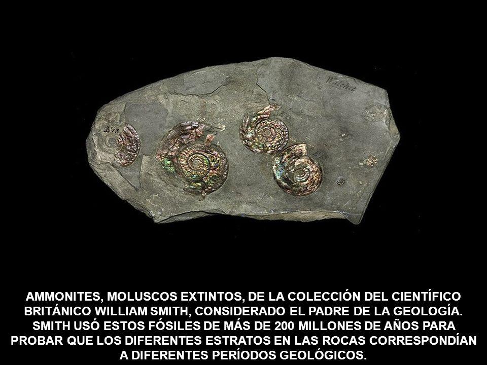 AMMONITES, MOLUSCOS EXTINTOS, DE LA COLECCIÓN DEL CIENTÍFICO BRITÁNICO WILLIAM SMITH, CONSIDERADO EL PADRE DE LA GEOLOGÍA.